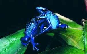 Fondo de pantalla ranas azules jugando