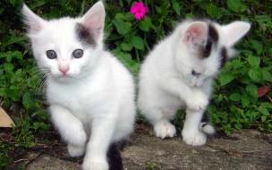 Fondo de pantalla gatos blancos paseando