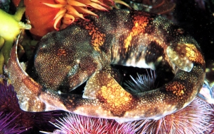Fondo de pantalla pez morena