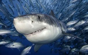 Fondo de pantalla tiburon en medio de peces