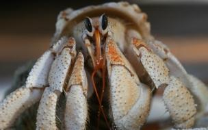 Fondo de pantalla de cangrejo ermitaño