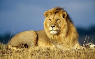 Fondo de pantalla leon mirando acostado