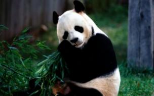 Fondo de pantalla oso panda comiendo