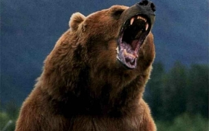 Bear Wild animals wallpapers