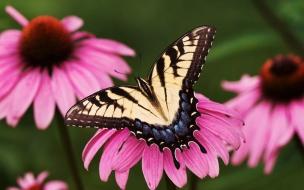 Fondo de pantalla mariposa en flor rosada