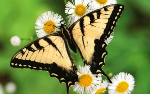 Fondo de pantalla mariposa en margarita