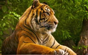 Beautiful tiger wild animal wallpaper