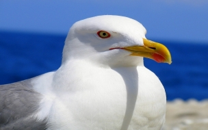 Larus bird animal wallpaper
