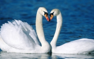 Fondo de pantalla cisnes cariñosos