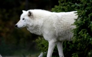 Fondo de pantalla perro blanco caminando