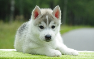 Fondo de pantalla perro lobo bebe