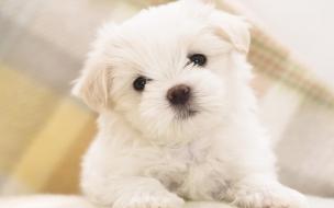 Fondo de pantalla perro blanco tierno