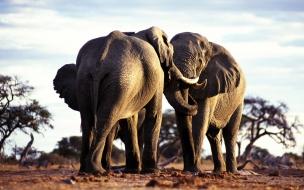 Fondo de pantalla elefantes cariñosos