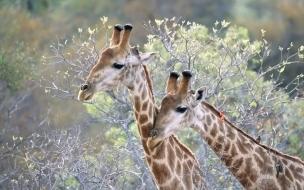 Fondo de pantalla jirafas comiendo