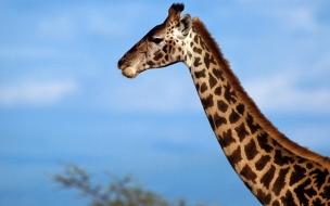 Fondo de pantalla cabeza de jirafa