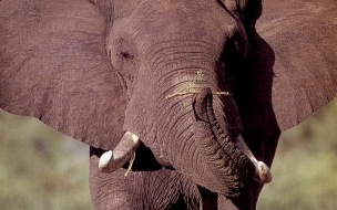 Fondo de pantalla cabeza de elefante bebe