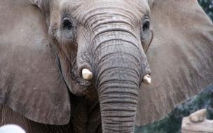 Fondo de pantalla elefante sin marfiles