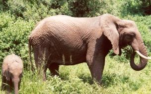Fondo de pantalla elefantes alimentandose