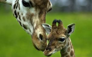 Fondo de pantalla jirafa con su bebe