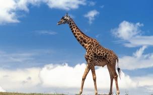 Fondo de pantalla jirafa solitaria