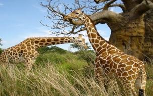 Fondo de pantalla jirafas