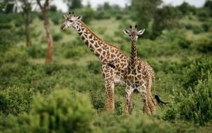 Fondo de pantalla jirafas paseando