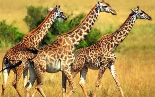 Fondo de pantalla jirafas caminando