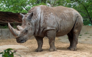 Fondo de pantalla rinoceronte caminando