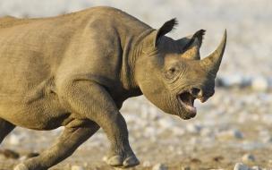 Fondo de pantalla rinoceronte corriendo