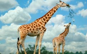 Fondo de pantalla jirafa comiendo