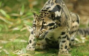 Fondo de pantalla guepardo atacando