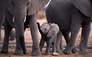 Fondo de pantalla elefante bebe
