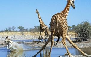 Fondo de pantalla jirafa resbalandose