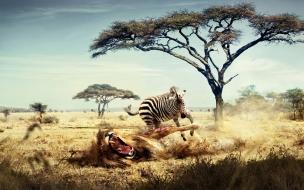 Fondo de pantalla cebra hiriendo a leon