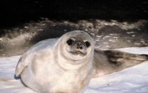 Fondo de pantalla lobo marino observando