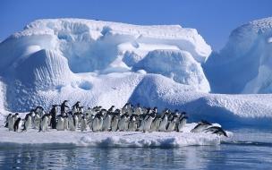 Fondo de pantalla manada de pinguino