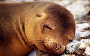 Fondo de pantalla foca dormida