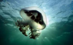 Fondo de pantalla medusa
