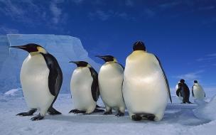Fondo de pantalla pinguinos caminando