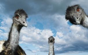 Fondo de pantalla cabezas de avestruz