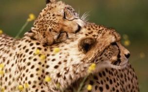 Fondo de pantalla guepardos cariñosos