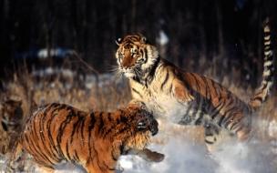 Fondo de pantalla tigres peliando