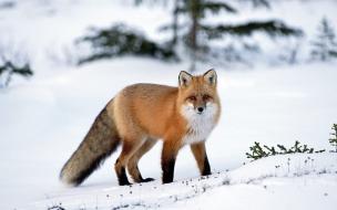 Fondo de pantalla zorro rojo en la nieve