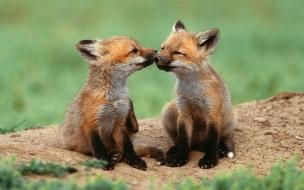 Fondo de pantalla zorros besandose