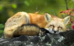 Sleeping red fox Fun Animal Wallpapers