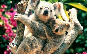Fondo de Pantalla de Oso Koala