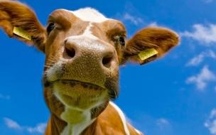 Fondo de pantalla cabeza de vaca