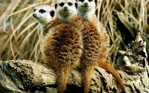 Fondo de pantalla lemurs en tronco