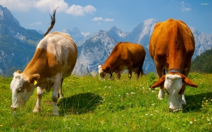 Fondo de pantalla vacas comiendo hierba