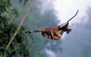 Fondo de pantalla monos pasando de rama
